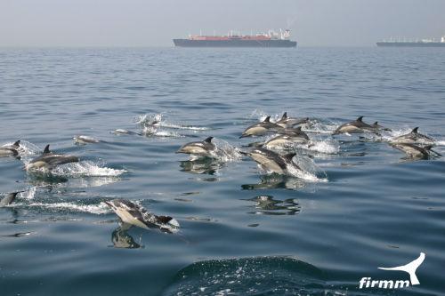 große Schule Gewöhnliche Delfine
